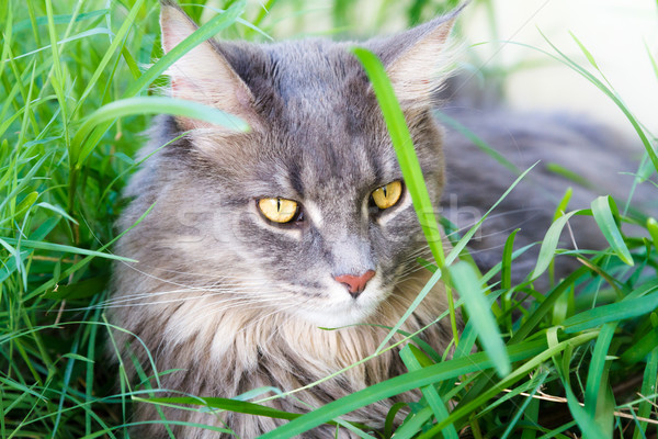 Beautiful Grey Tabby Cat Stock photo © silkenphotography