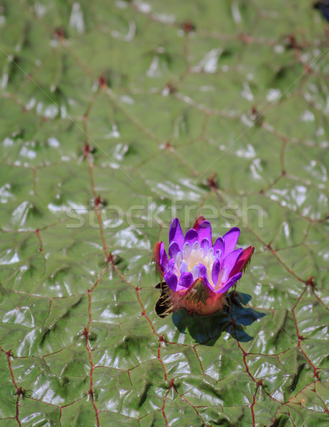 Purple Flower on a Gorgon Lily Stock photo © silkenphotography
