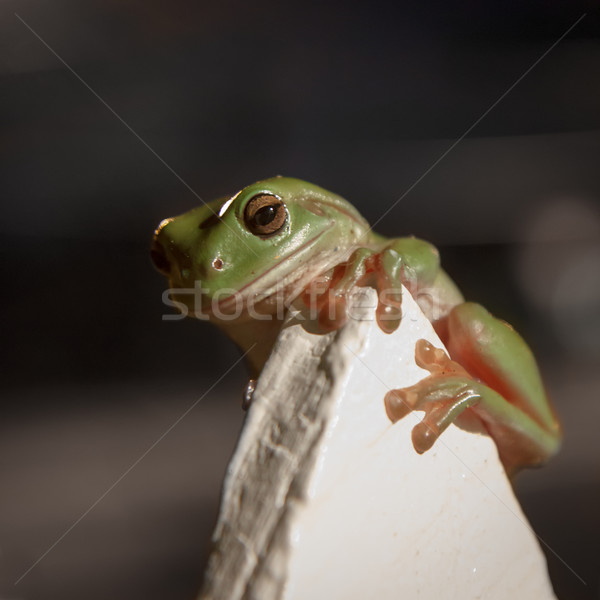 Green Tree Frog Clinging to a fence Stock photo © silkenphotography