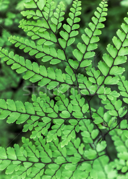 Graceful Himalayan Maidenhair Frond Stock photo © silkenphotography
