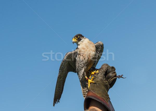 Foto stock: Falcão · falcoaria · luva · alto · blue · sky · esportes