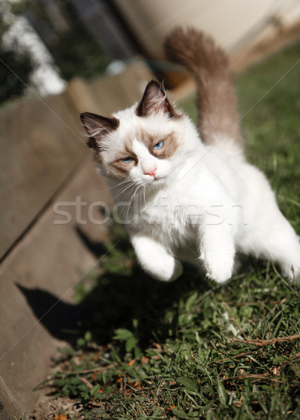 Ragdoll Kitten Playing in the Garden Stock photo © silkenphotography