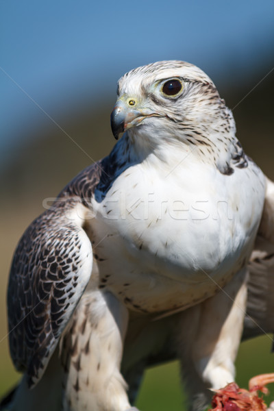 Stock photo: Gyrfalcon and Prey