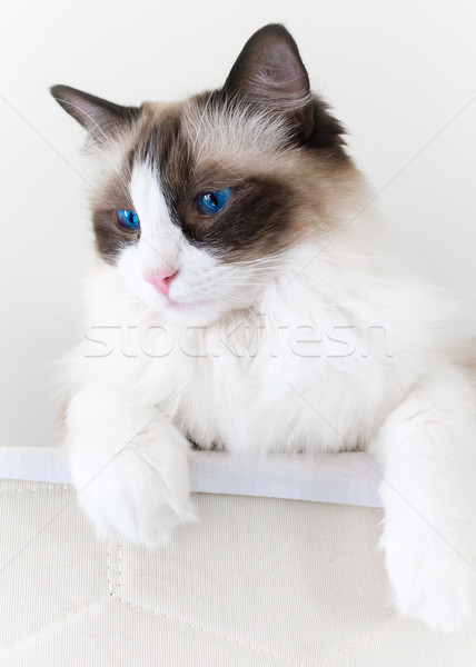 Ragdoll Cat Looking Down Stock photo © silkenphotography