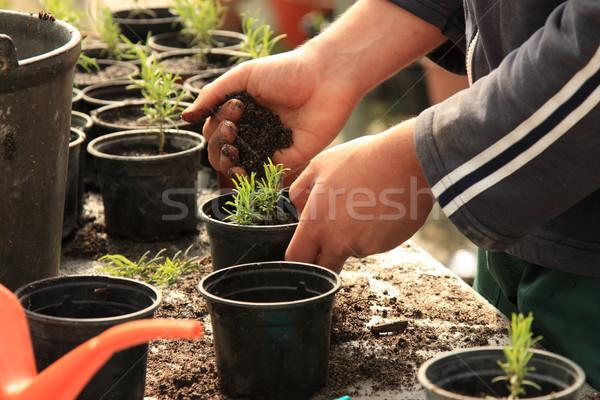 Planting a tree Stock photo © simas2
