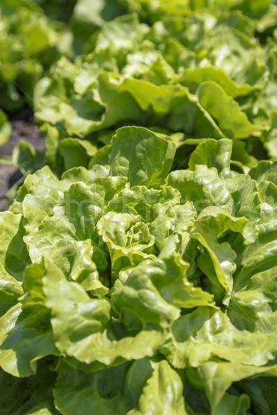 Taze yeşil marul büyüyen alan gıda Stok fotoğraf © simas2