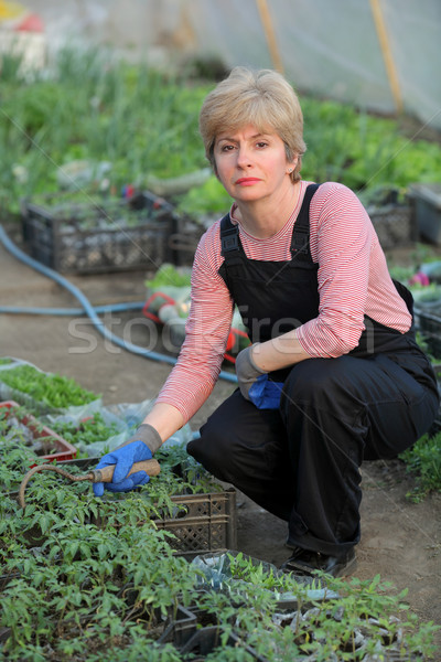 Stock photo: Agricultural worker in a greenhouse with tomato plant