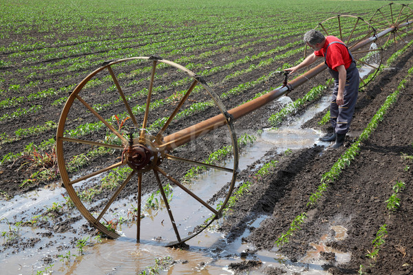 Agricultural scene, farmer in paprika field with watering system Stock photo © simazoran