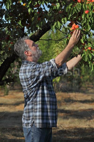 Agriculteur abricot fruits verger Photo stock © simazoran