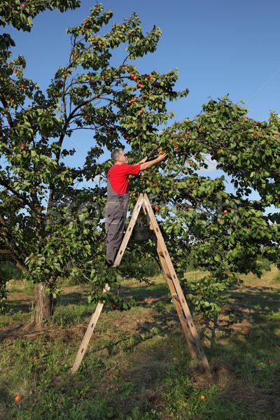 Farmer at ladder picking apricot Stock photo © simazoran