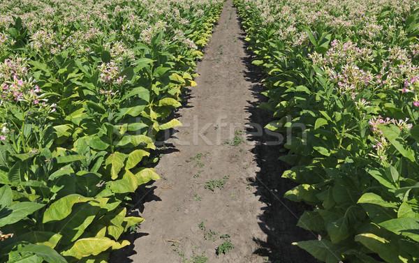 Tabak planten veld groene bloem Stockfoto © simazoran