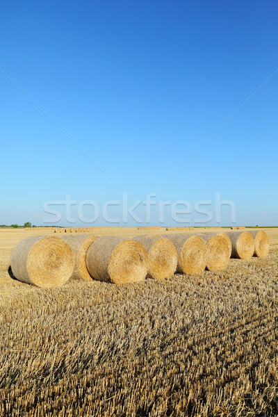 Rolled straw in wheat field after harvest Stock photo © simazoran