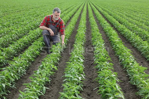 Landbouwer onderzoeken sojasaus boon gewas veld Stockfoto © simazoran