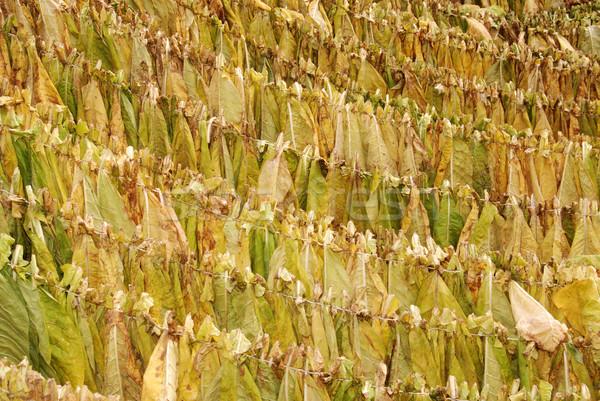 Stock fotó: Dohány · természetes · ősz · természet · cigaretta · ősz