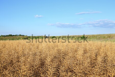 Oilseed Stock photo © simazoran