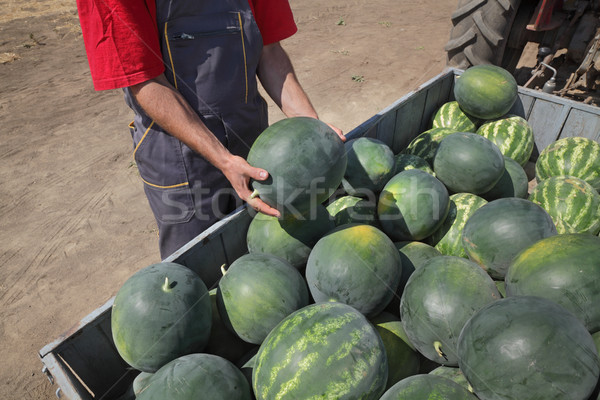 Watermelon fruit at trailer and farmer Stock photo © simazoran