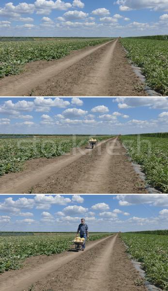 Watermelon and melon field and farmer with  wheelbarrow Stock photo © simazoran