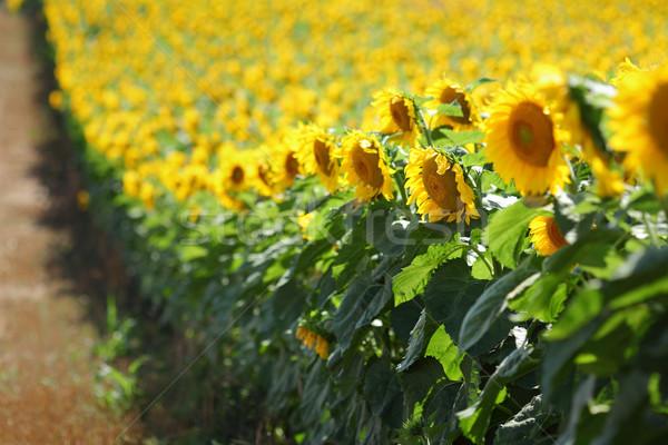 подсолнечника растений области рано лет избирательный подход Сток-фото © simazoran