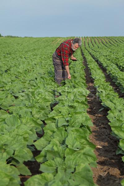 農業の シーン 農家 ヒマワリ フィールド 工場 ストックフォト © simazoran