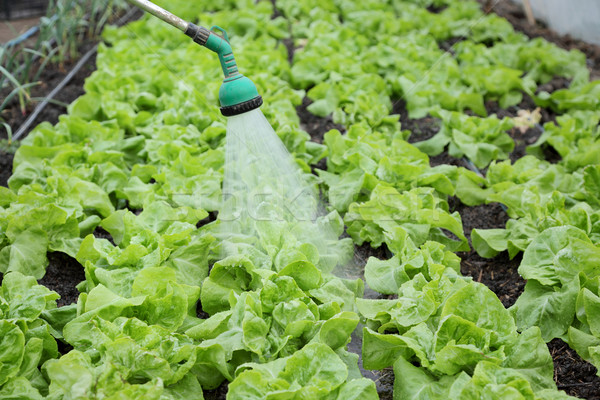 Agriculture, lettuce watering Stock photo © simazoran