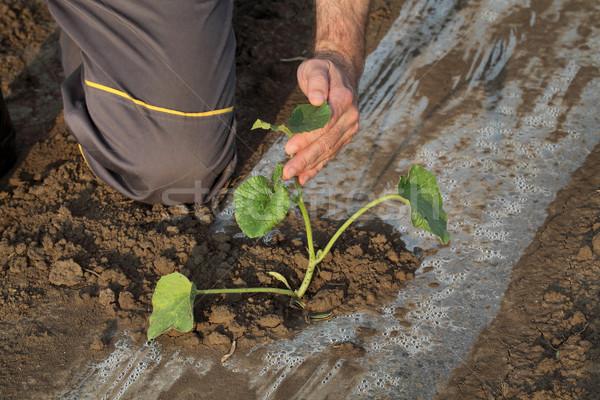 Dinnye ültet mező gazda megérint növény Stock fotó © simazoran