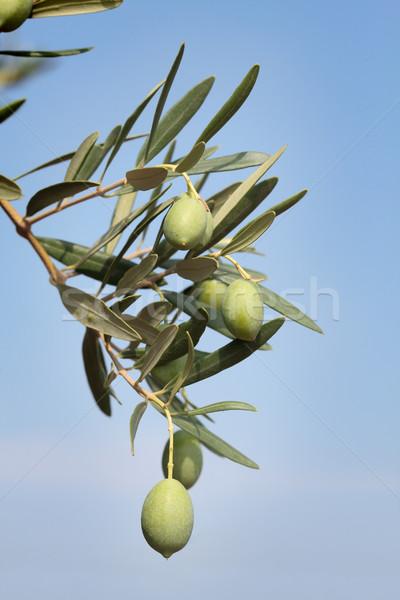 Olive branch Stock photo © simazoran