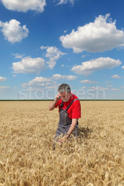 Farmer inspect wheat field Stock photo © simazoran