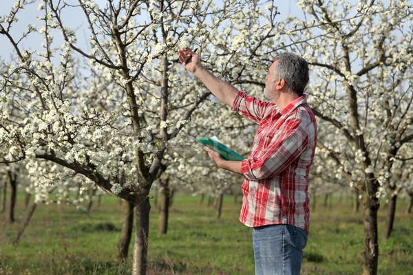Farmer or agronomist in blossoming plum orchard Stock photo © simazoran