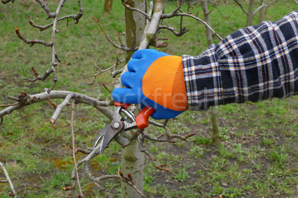 Agriculture, pruning tree in orchard Stock photo © simazoran