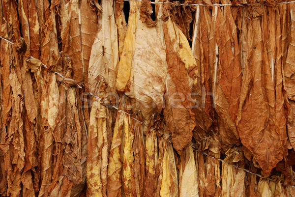 Tobacco Stock photo © simazoran