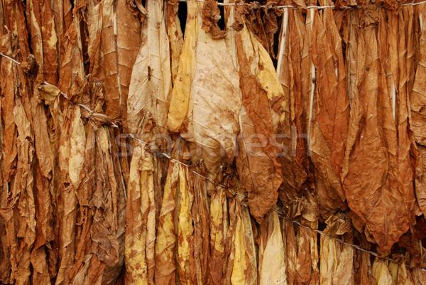 Tütün doğal sonbahar doğa sigara düşmek Stok fotoğraf © simazoran