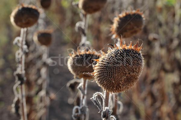 Iklim değişikliği kuraklık doğal ayçiçeği alan Stok fotoğraf © simazoran