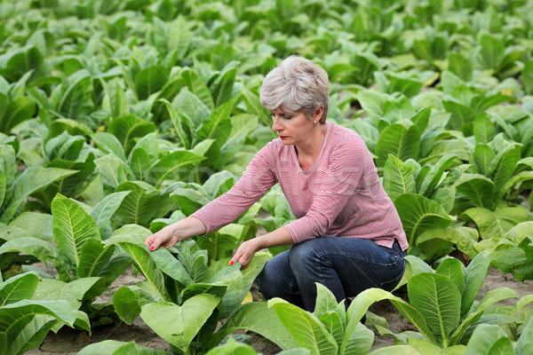Сток-фото: фермер · табак · области · завода · зеленый · промышленности