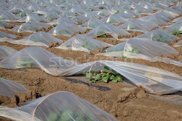 Melon planting in field Stock photo © simazoran