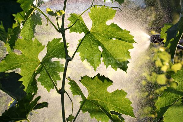 Grape plant treating in vineyard Stock photo © simazoran