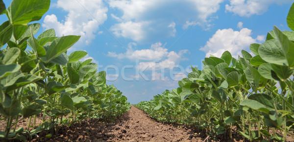 Szója mező zöld megművelt növény korai Stock fotó © simazoran