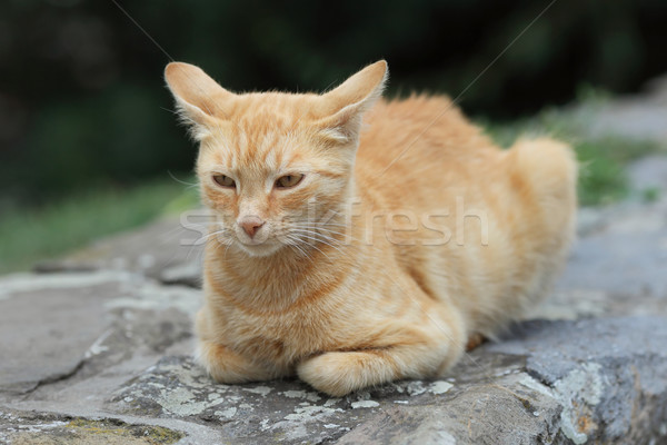 Gato doméstico raza nacional amarillo gato Foto stock © simazoran