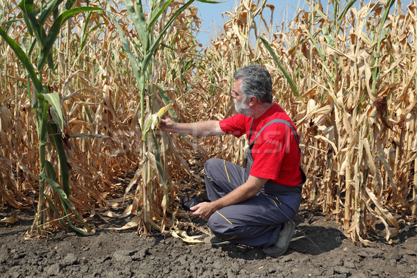 Agricultural scene, farmer or agronomist inspect corn field Stock photo © simazoran