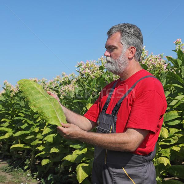 Landbouwer tabak veld plant houden blad Stockfoto © simazoran