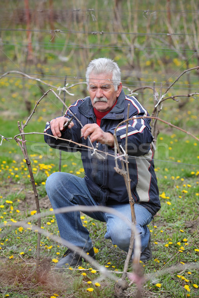 Agriculture, pruning in vineyard, senior man working Stock photo © simazoran