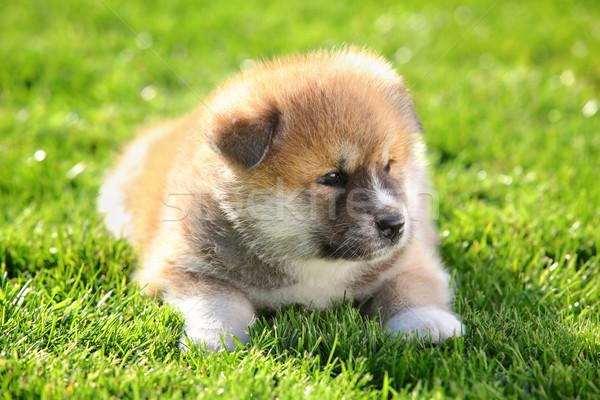One  Akita Inu puppy dog on green grass selective focus Stock photo © simazoran