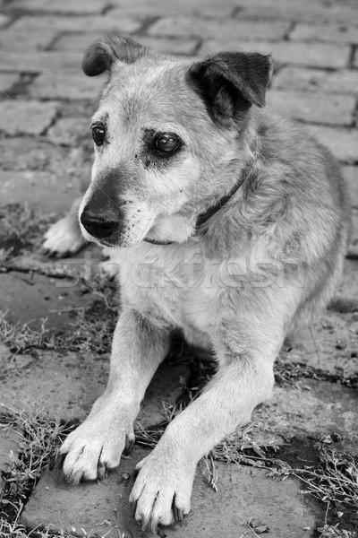 Vecchio triste razza cane malati Foto d'archivio © simazoran