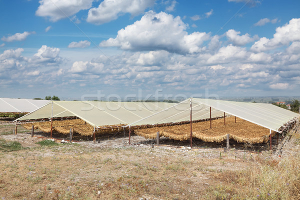 Tobacco drying on traditional way in Greece Stock photo © simazoran