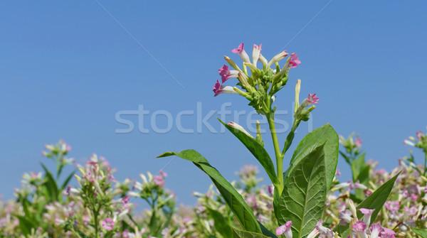 Tobacco plant flowers Stock photo © simazoran