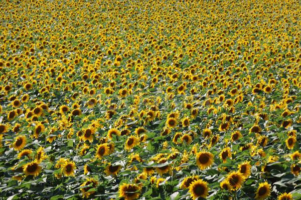 подсолнечника растений области сельского хозяйства Сток-фото © simazoran