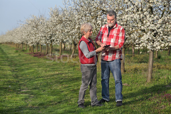 Farmer and agronomist in blossoming plum orchard Stock photo © simazoran