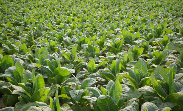 Tabak plant veld groene planten laat Stockfoto © simazoran
