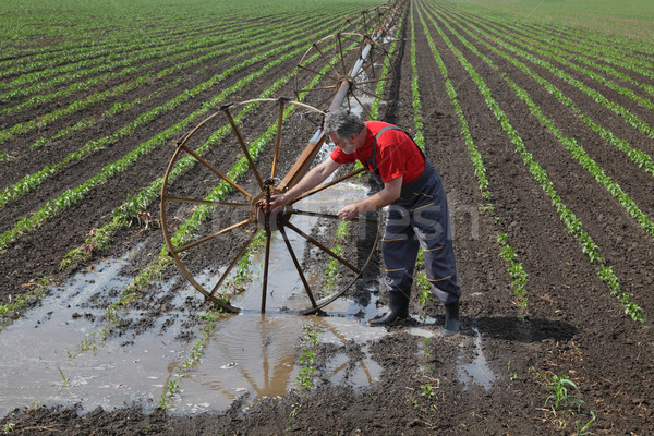 Farmer in paprika field with watering system Stock photo © simazoran