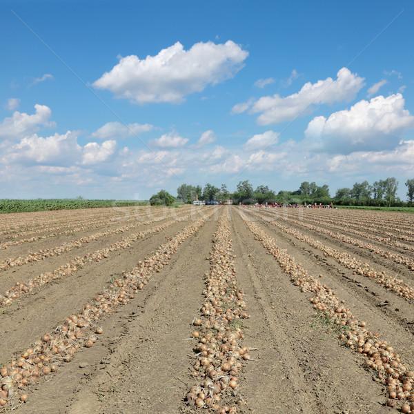 сельского хозяйства лука урожай области куча рабочих Сток-фото © simazoran