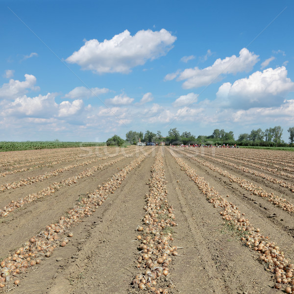 Agriculture, onion harvest Stock photo © simazoran